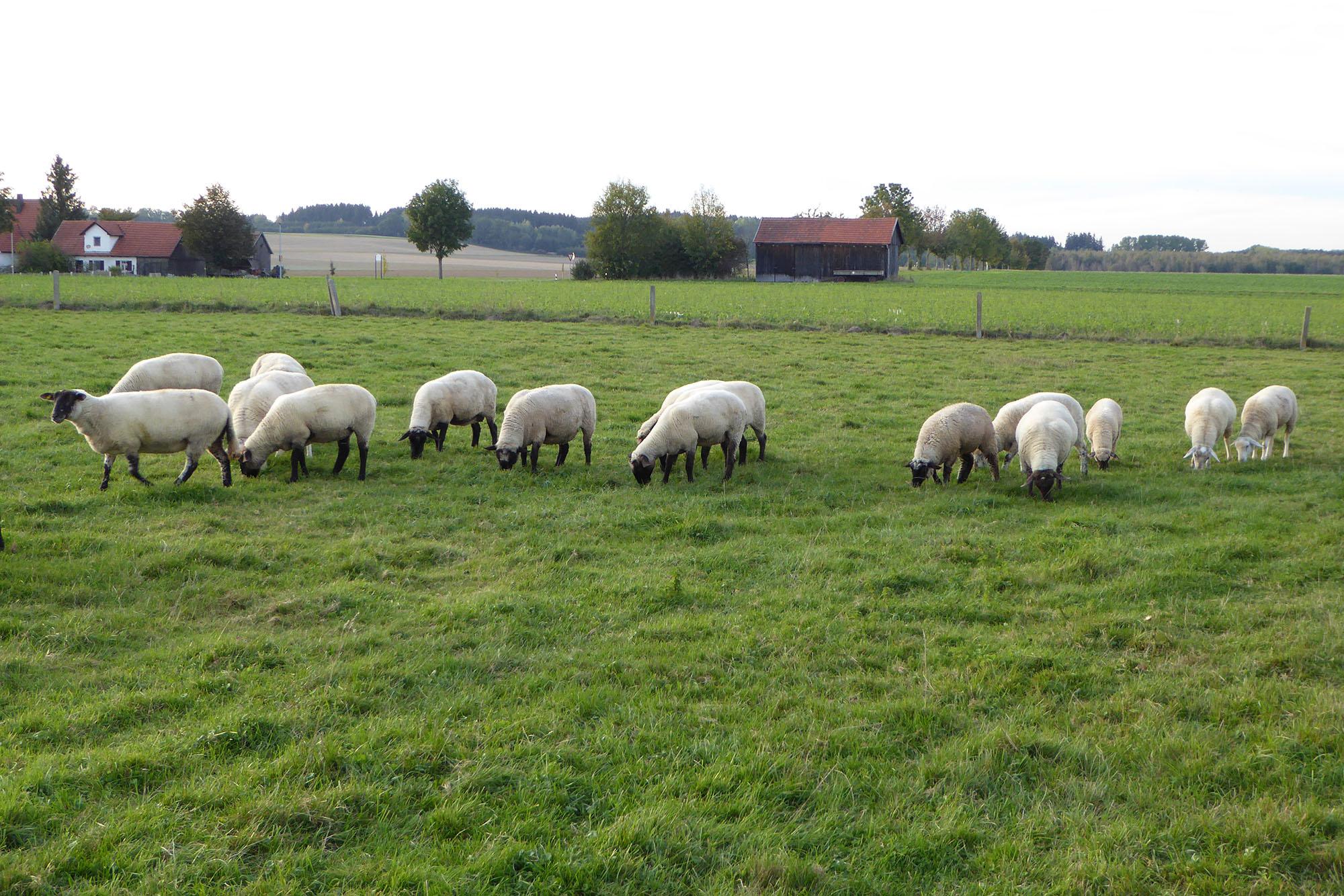 Schafe aus eigener Zucht