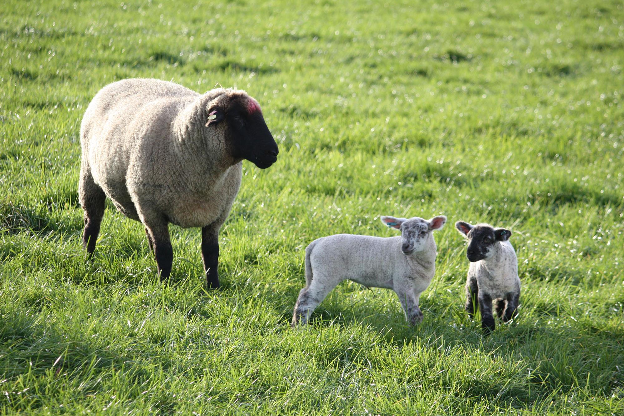 Unsere Schafe und Lämmer